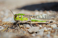Side view of migratory locust in wilderness
