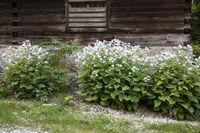 Ausdauerndes Silberblatt (Lunaria rediviva) in voller Blüte