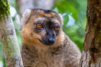 A portrait of a red lemur in its natural environment