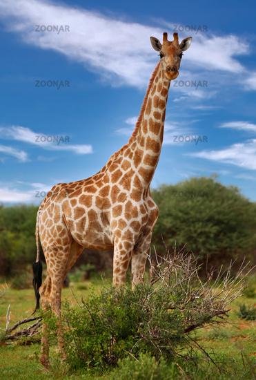 Giraffes, Etosha Park, Namibia, giraffes, Giraffa camelopardalis