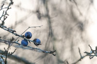Three ripe sloe berries hang on a leaf-free branch against a light, blurred wintry background