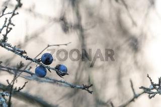 Drei reife Schlehen Beeren hängen an einem Blattfreien Ast