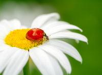 Ladybug on a white daisy flower