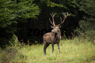 Red deer stag standing on a glade in autumn.