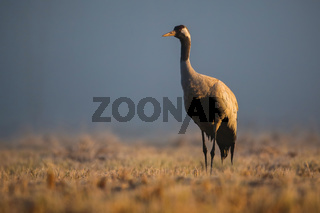 Common crane standing on field in morning mist in autumn