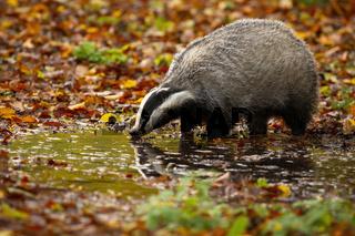 European badger standing on marsh in autumn nature