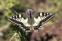 Papilio machaon, European Swallowtail