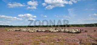 Heidschnuckenherde in der Lueneburger Heide,Deutschland