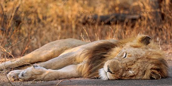 male lion, Kruger NP, South Africa
