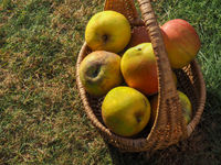 Rustic apples in a wicker basket on a meadow orchard,