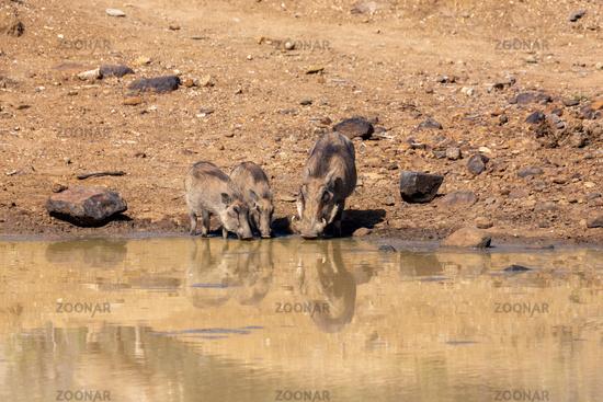 African pig Warthog in South Africa safari