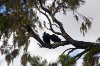 Two Thick-billed ravens on the tree, Simien mountains