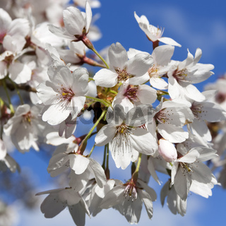 Kirschbluete