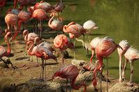Flock of flamingos in water