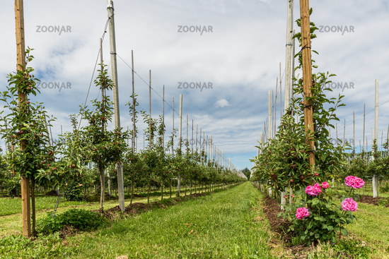 Apple orchard with young apples in spring, Kressbronn, Lake Constance, Baden-Wuerttemberg, Germany