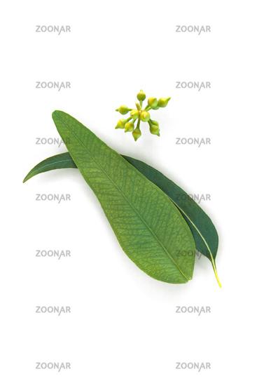 Natual organic eucalyptus. Cosmetic ingredient.