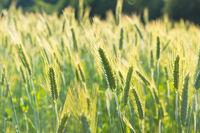 Grain in the field