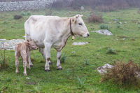 White cow with calf grazing