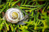 Banded snail, Cepaea. They belong to the Schnirkelschnecken