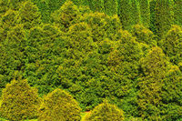 Thuja forest background