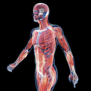 3d rendered illustration of the male musculature system