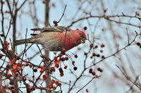 Big Rosefinch male or Carpodacus rubicilla winter berries feeding