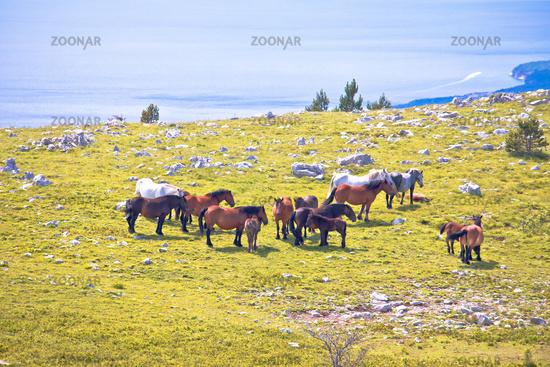 Wild horses in nature of Velebit mountain view