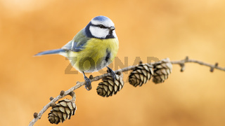 Eurasian blue tit looking on twig in autumn nature
