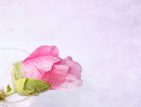 Pink mallow (Malva) in crystal glass on grunge bac