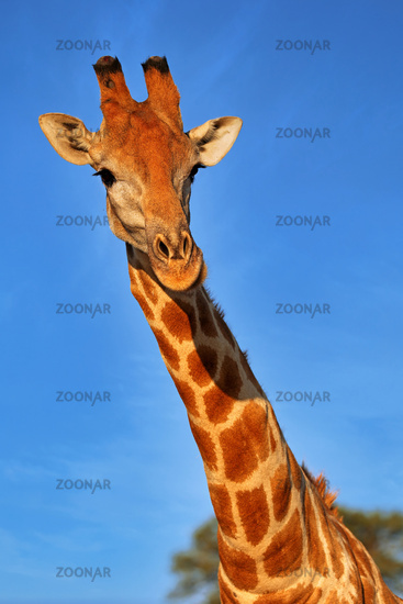 Giraffe, Kgalagadi Transfrontier National Park, South Africa, (Giraffa)