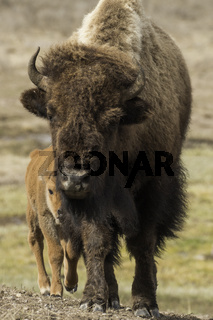 Mother and calf bison