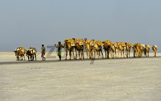 Dromedar-Karawane transportiert Steinsalzplatten über den Assale Salzsee, Äthiopien