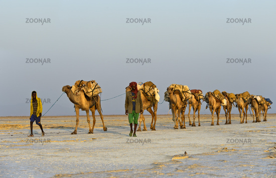 dromedary caravan loaded with rock salt slabs over the Assale Salt Lake, Ethiopia