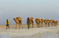 dromedary caravan loaded with rock salt slabs over the Assale Salt Lake, Ethiopia