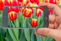 Tulips on smartphone screen. Beautiful flowers red tulips. Natural background Spring flowering tulips.