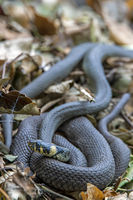 Grass Snake on leaves on the ground / Natrix natrix