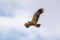 Black kite flying, Ethiopia safari wildlife