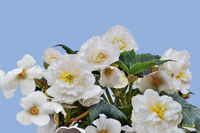 Gentle flowers of tuberous white begonia on blue background isolated, close up