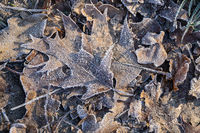 leaves with white frost