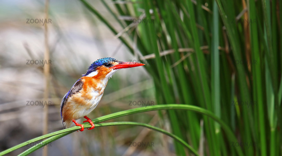 malachite kingfisher in Kruger National Park, SA