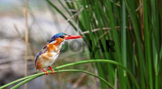Hauben-Zwergfischer, Malachit-Eisvogel, Kruger Nationalpark Südafrika; Alcedo cristata, malachite kingfisher in Kruger National Park, South Africa