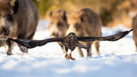 Dominant common buzzard with big wings flying over the snow with meat in claws