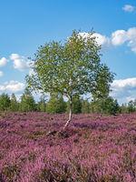 Landscape Lueneburg Heath with birch tree, Lower Saxony, Germany
