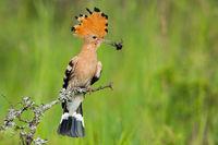 Eurasian hoopoe holding bug in beak in spring nature