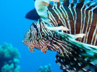 Rotfeuerfisch (Pterois miles)