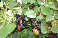 Shrub with blackberries (Rubus spec.) - fruits in different degree of ripeness