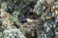 Kestrel sits in its nest on the tip of a blue spruce between pine needles and pine cones