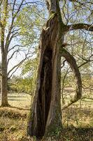 Hollow tree trunk