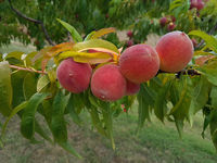 Ripe Peach on the Branch