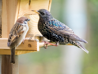Starling at a birdfeeder argumenting with a sparrow